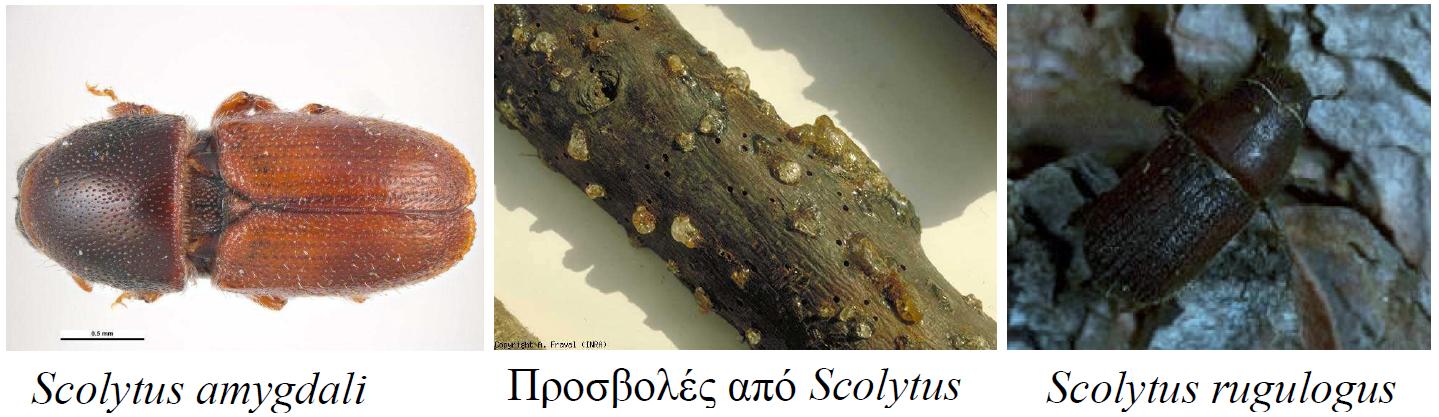 Εχθροί και Ασθένειες Αμυγδαλιάς - Farmacon - Blog - Η #1 online αγροτική  εφαρμογή