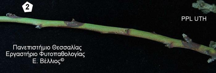 fwmopsis amygdalia