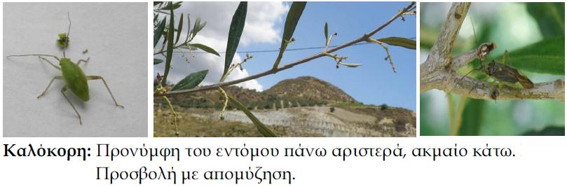 KALOKORH