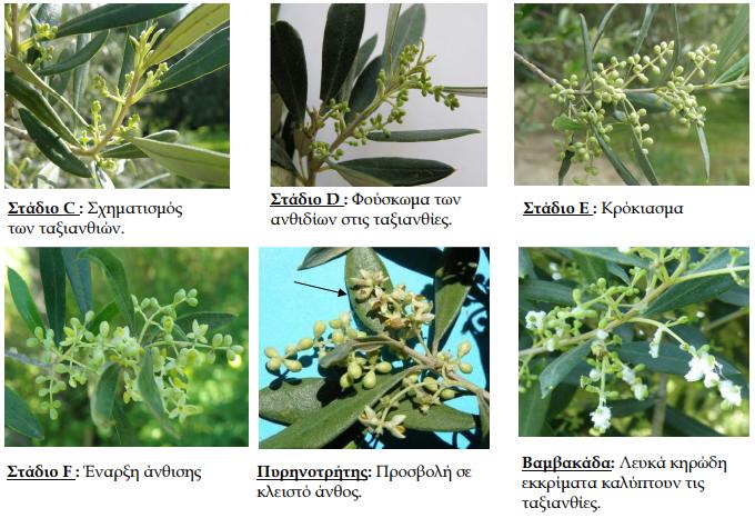 Φυτοπροστασία Ελιάς για Βαμβακάδα, Μαργαρόνια, Πυρηνοτρήτη - Farmacon -  Blog - Η #1 online αγροτική εφαρμογή
