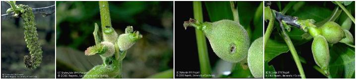 xanthomonas campestris pv juglandis