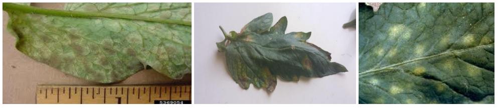 kladosporio tomata thermokhpiou