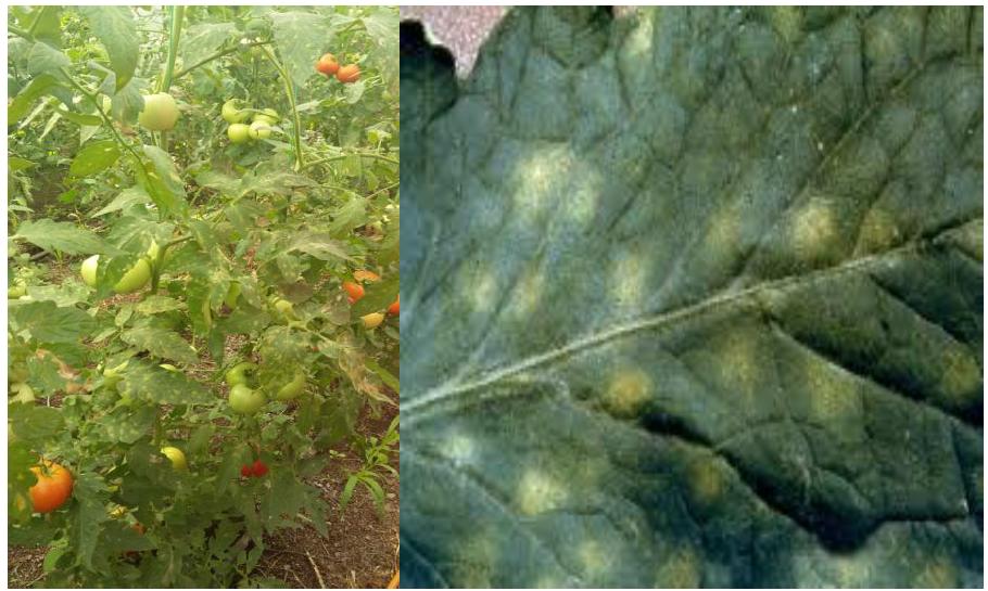 KLADOSPORIO tomata