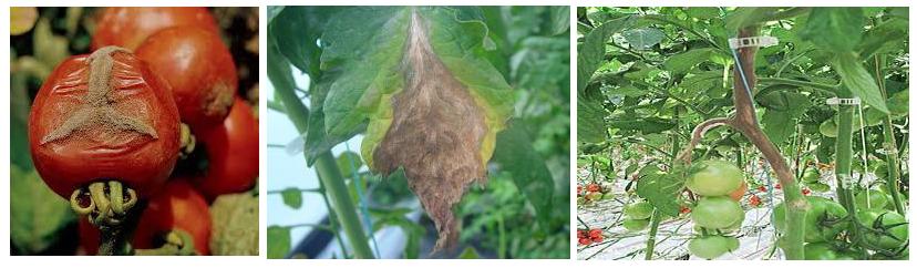 botrytis tomata thermokhpiou