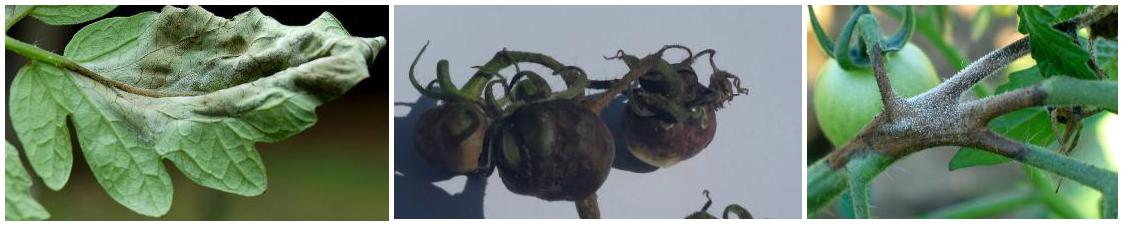 peronosporos tomata ypaithria