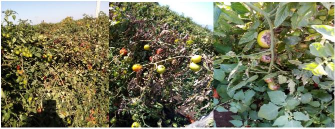 ypaithria epitrapezia tomata peronospros