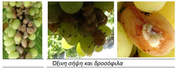 oxini sipsi drosophila