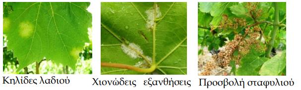 Αποτέλεσμα εικόνας για Βλαστικά στάδια αμπελιού και ενδεικτικοί χρόνοι αντιμετώπισης φυτοπαρασίτων