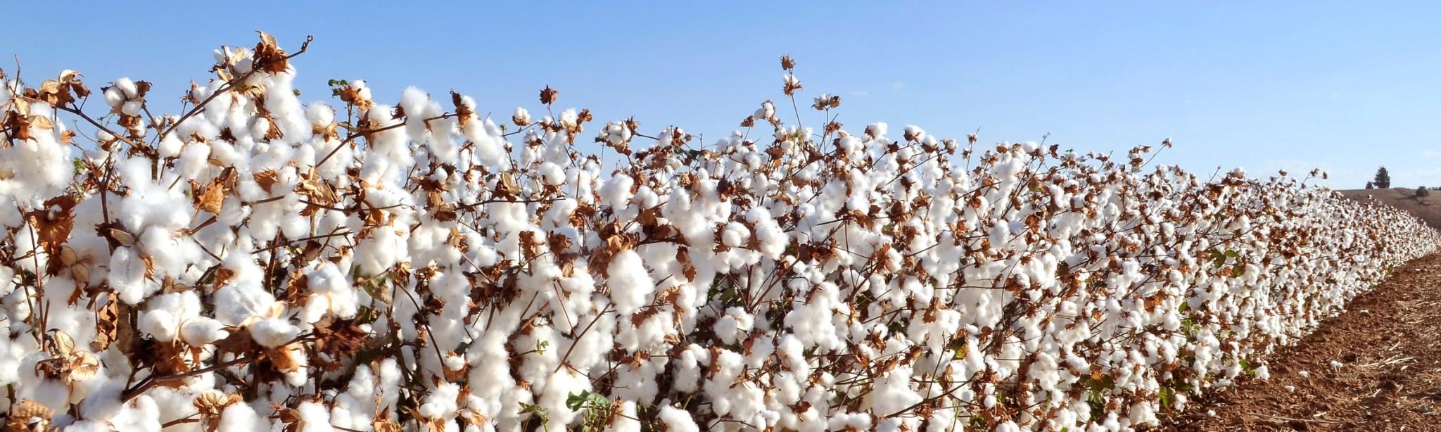 cotton2 2048x614