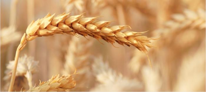 wheat 2