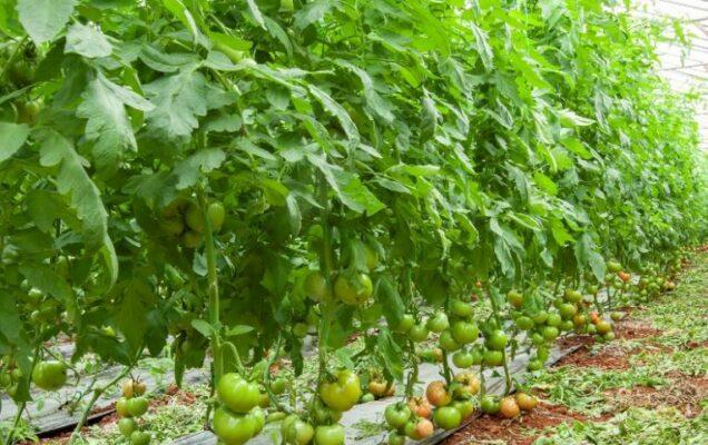 GH tomato 636x400 c