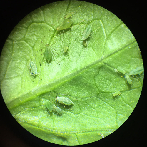 aphid7
