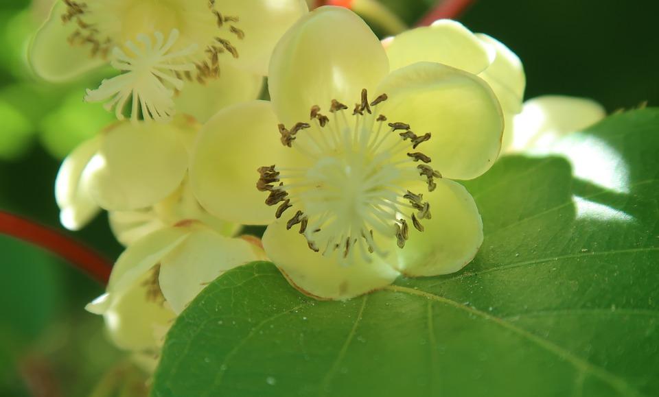 kiwiflower 2369637 960 720