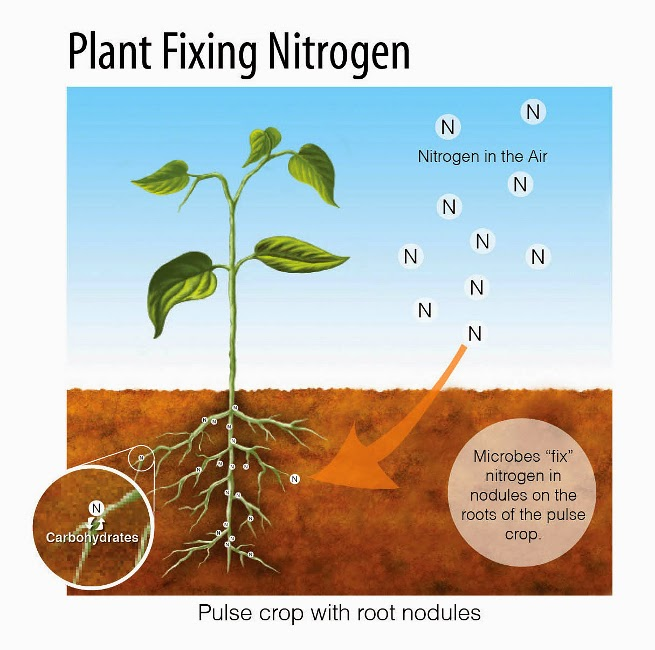 nitrogenfixation