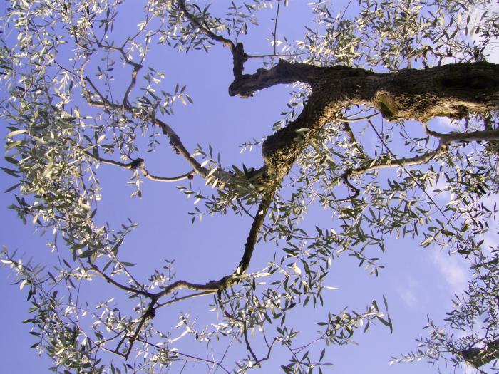 Bare olive tree