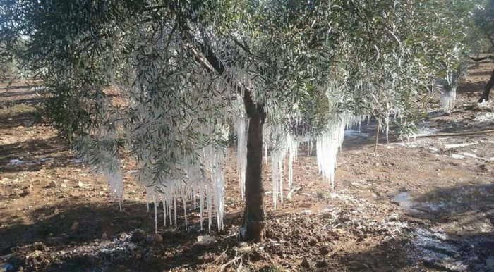 frozen olivetree