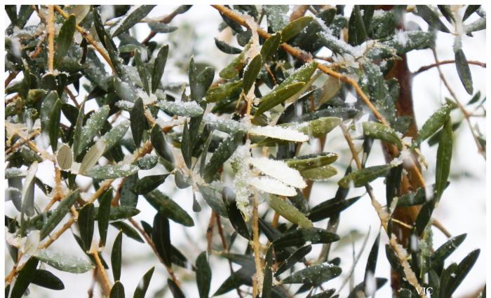 frozen olivetree3