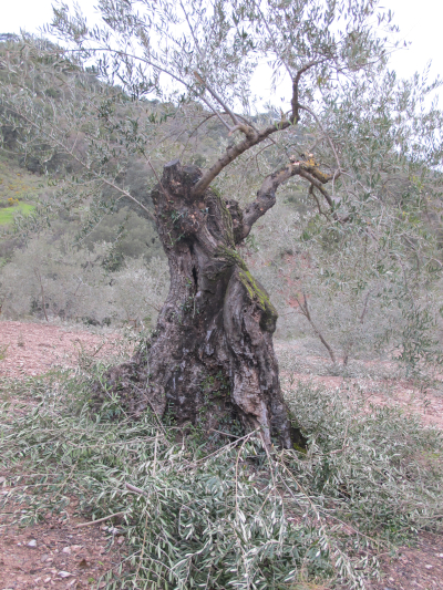 old olive tree pruned2 24 3 13