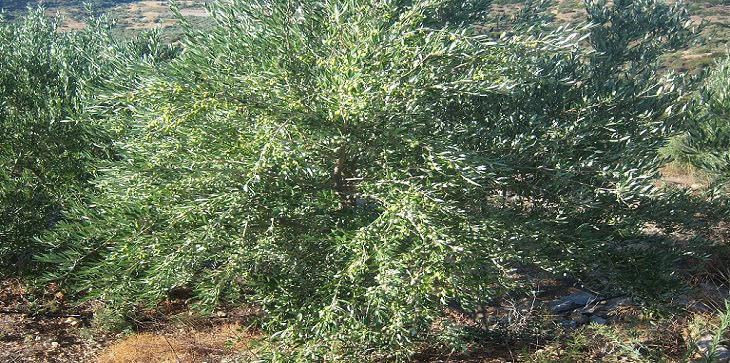 oilve trees 036 Αντίγραφο