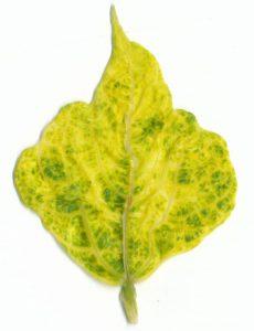 yellowmosaicvirus