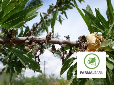 Monilinia laxa amygdalo anthos kastano xrwma