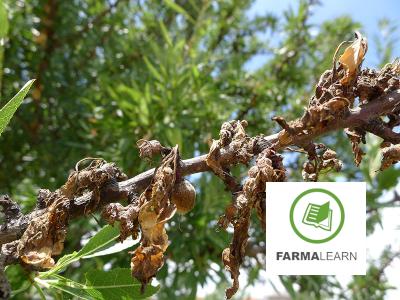 Monilinia laxa amygdalo anthos ksiransi