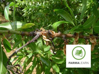 Monilinia laxa amygdalo blastos ksiransi 1