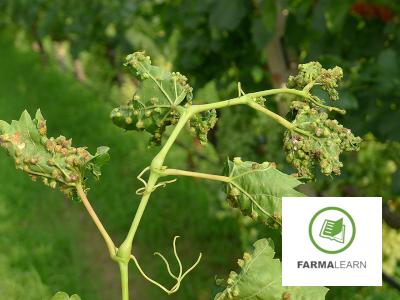 Viteus vitifoliae ampeli fyllo kikides 3