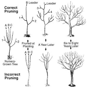 correct incorrect pruning
