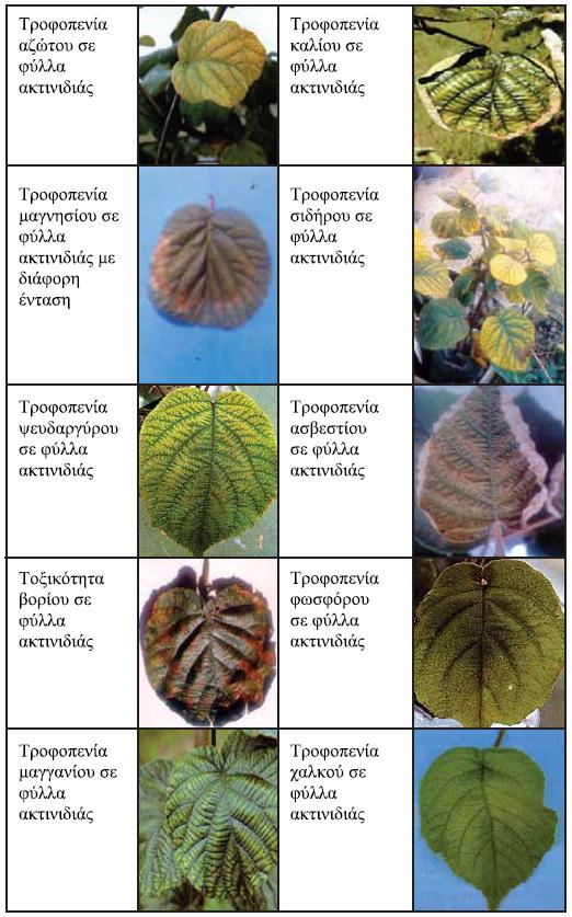 symptwmata trofopeniwn aktinidias
