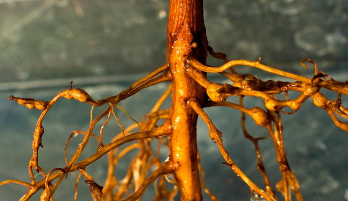 root nematode
