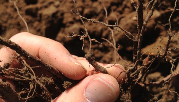 rootnode nematode
