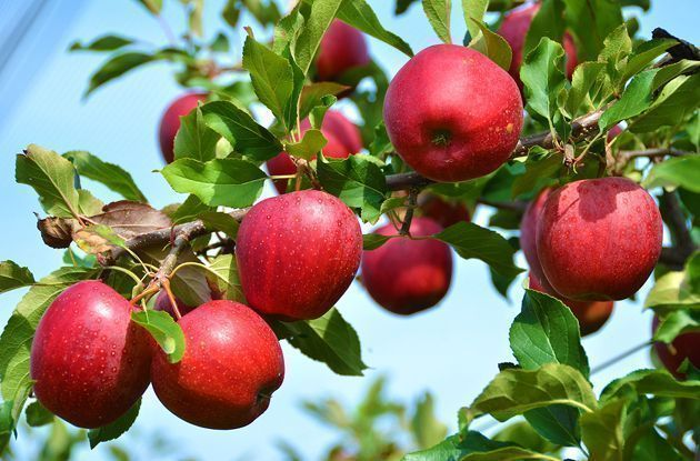 apple picking guide