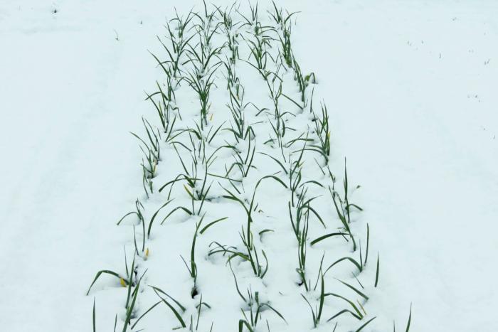snowycrop 6