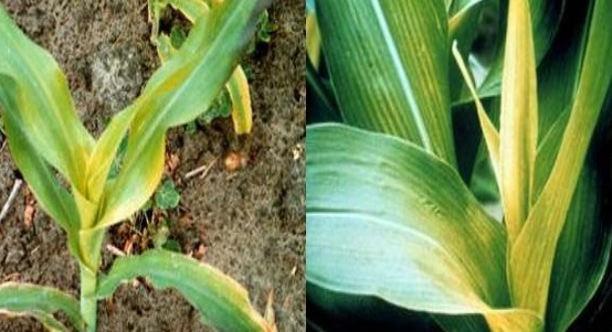 CORN DEFICIENCY 4