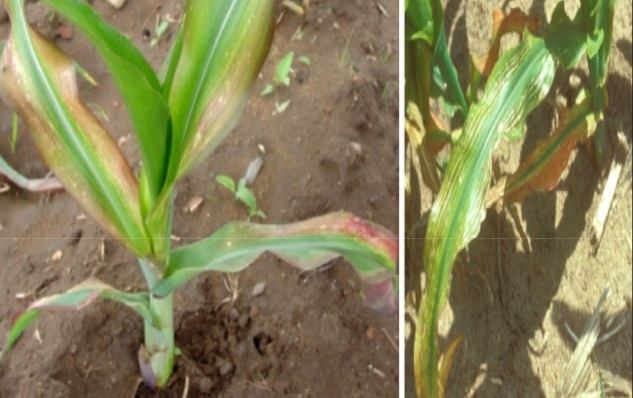 CORN DEFICIENCY Mg
