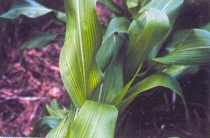 corn deficiency Mn