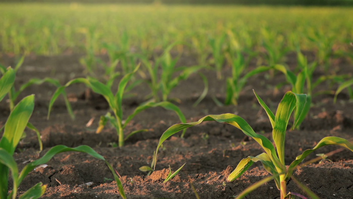slider shot of young corn plants growing in cultivated field agricultural maize field rows in sunset h66ry2 7 F0007 1
