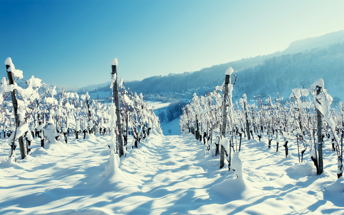 Snow on Vineyard 1920x1200 wide wallpapers.net