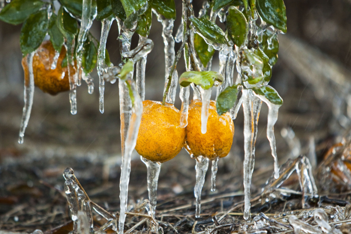orange trees ice