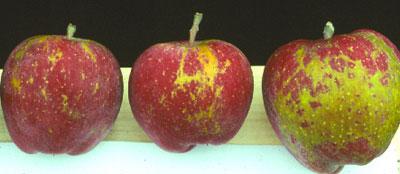 apple russetinh skoriosi