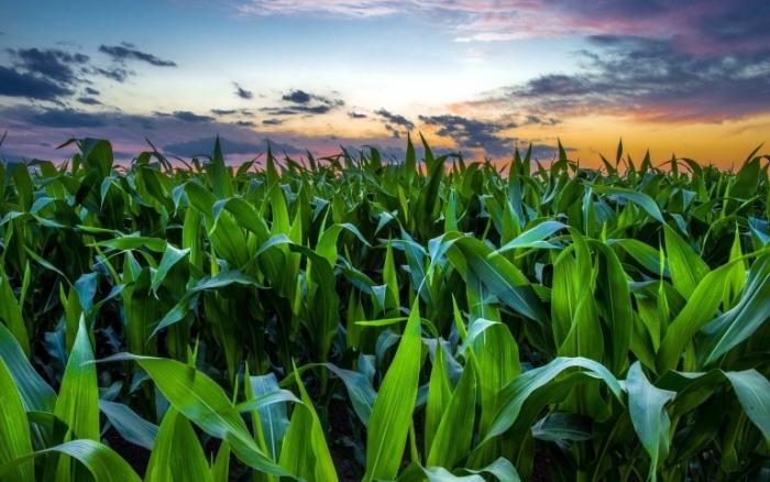 Απολογισμός Φυτοπροστασίας στην καλλιέργεια του καλαμποκιού για το 2018