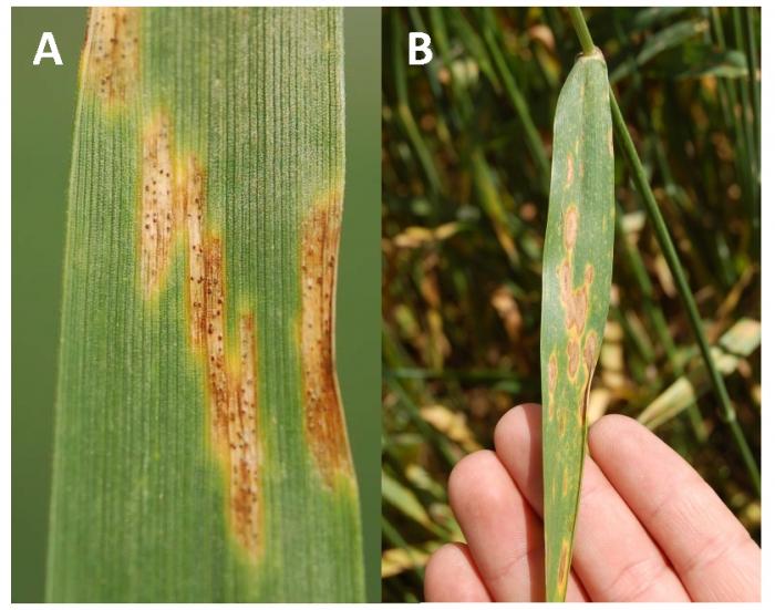 Μυκητολογικές μολύνσεις στα Σιτηρά, έπειτα από τις συνεχόμενες βροχοπτώσεις