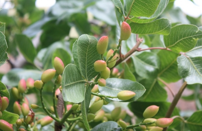 Προληπτικά μέτρα σε νέες φυτεύσεις για Φιστικιές