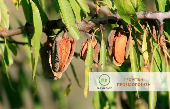 Προσβολές μυκητολογικών ασθενειών στην Αμυγδαλιά