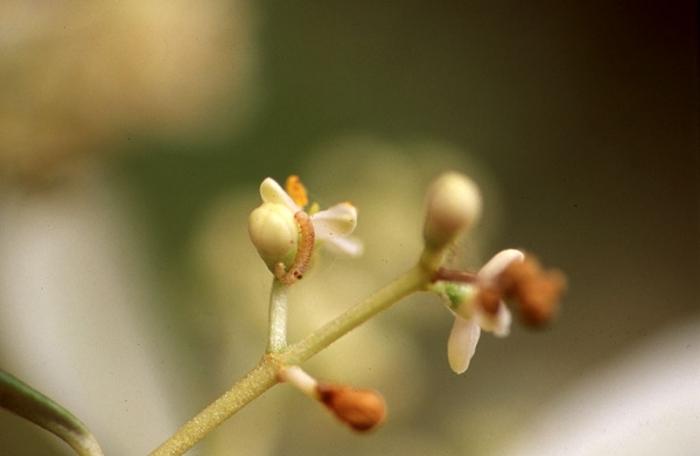 Φυτοπροστασία Ελιάς στο κρόκιασμα των ανθέων & στην άνθιση