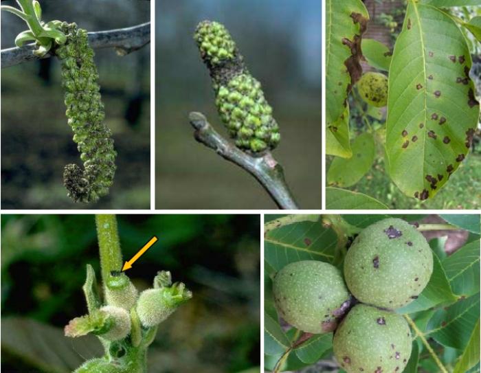 Καρυδιά: απαραίτητη η προστασία της από την έναρξη της βλάστησης για Βακτηρίωση & Ανθράκωση