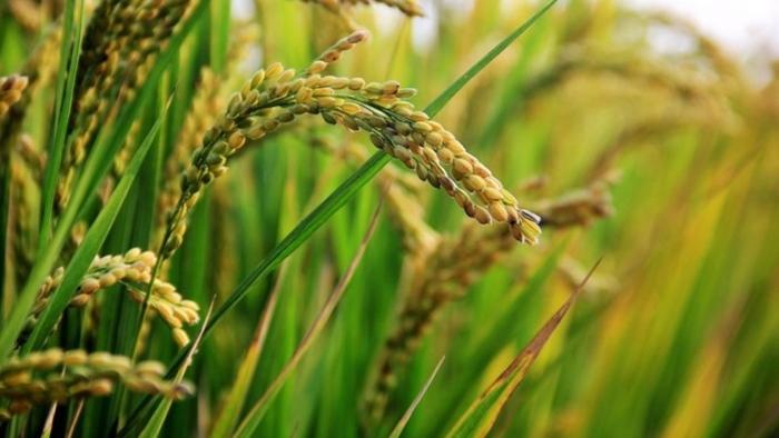 Αντιμετώπιση της ασθένειας «πυρικουλάρια» στην καλλιέργεια του ρυζιού