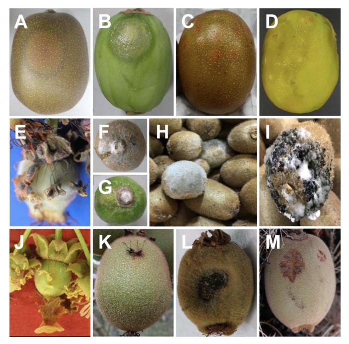 Πέντε κυριότεροι μύκητες στο ακτινίδιο