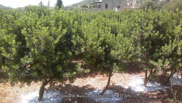 Δενδρώδη / θαμνώδη μικρότερης οικονομικής σημασίας: Το Μαστιχόδεντρο ή Σχίνος Χίου (Pistacia lentiscus var. Chia L.)